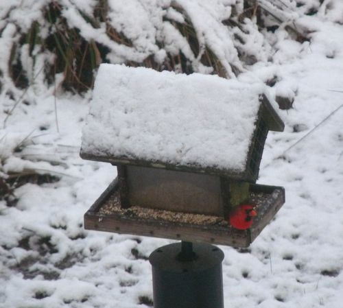 Cardinal at feeder