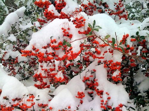 Pyracantha berries in snow