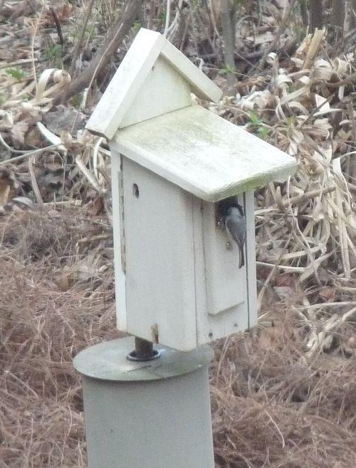Chickadee at nestbox
