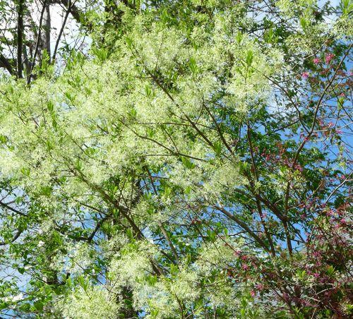 Grancy graybeard tree 2