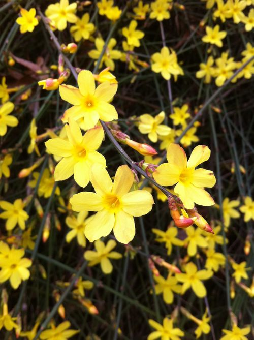 Forsythiaflower