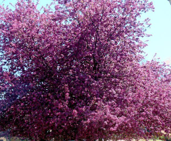 Georgia backyard nature fancy flowering crabapple mightylinksfo