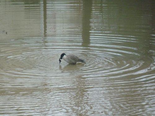 Canada goose alone