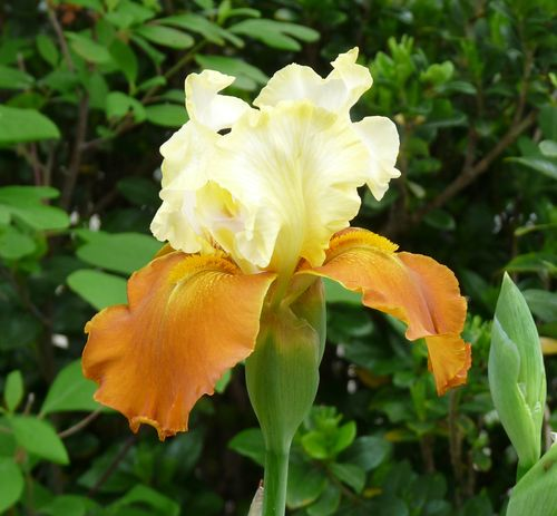 Bearded iris yellow and gold