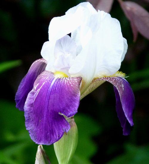 Bearded iris purple and white