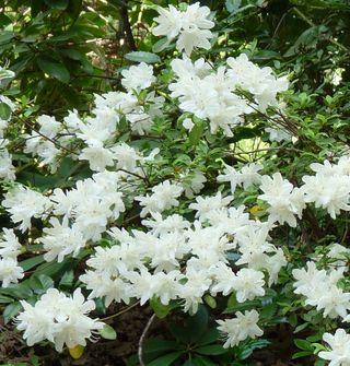 White azalea 2