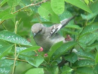 Mockingbird with berry3