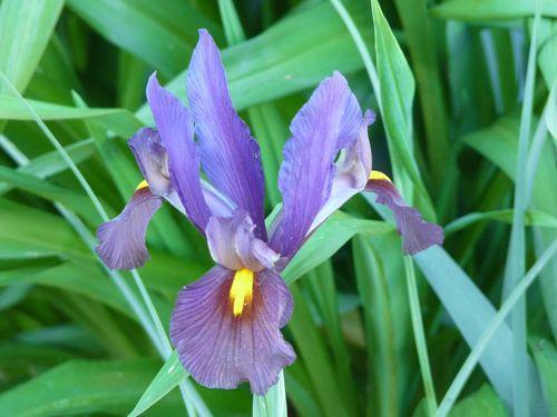 Dutch iris 2