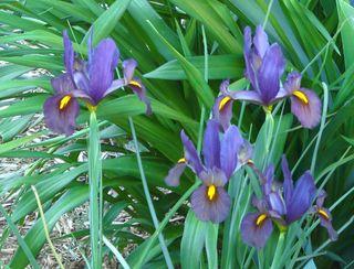 Dutch iris 1