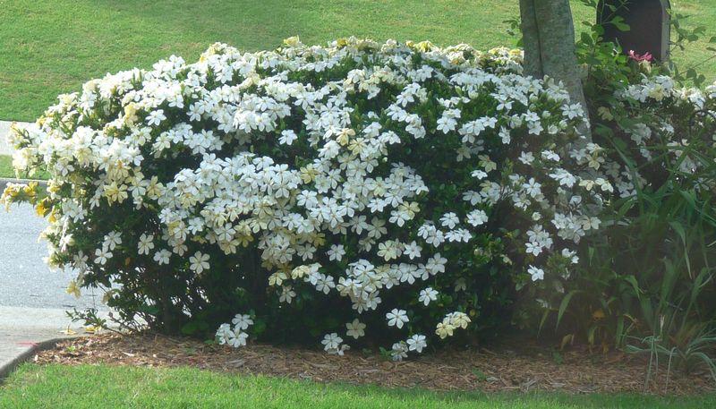 Gardenia at mailbox