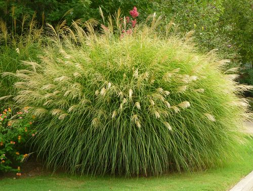 Georgia backyard nature grasses for Maiden grass