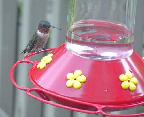 Hummer on feeder