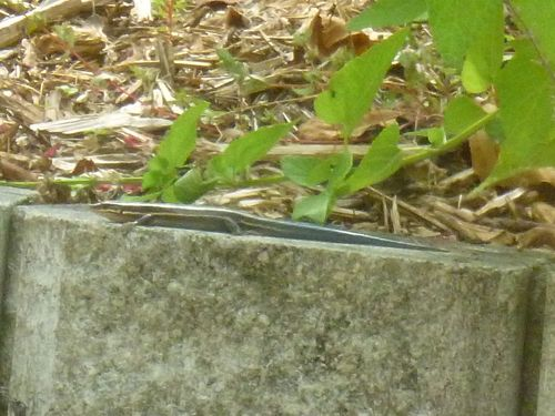 Blue tailed lizard 3