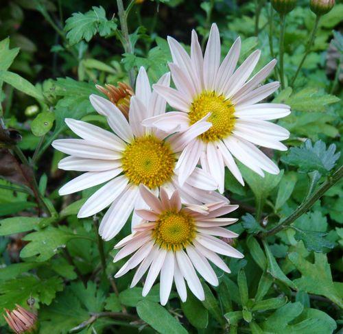 Pink chrysanthemum 2