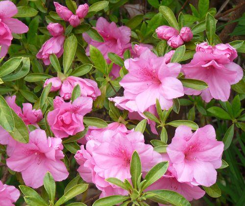 Azalea pink 2