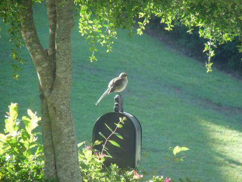 Mockingbird on mailbox