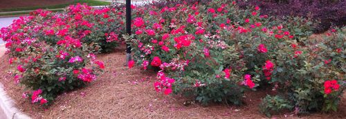 Knock out roses 2
