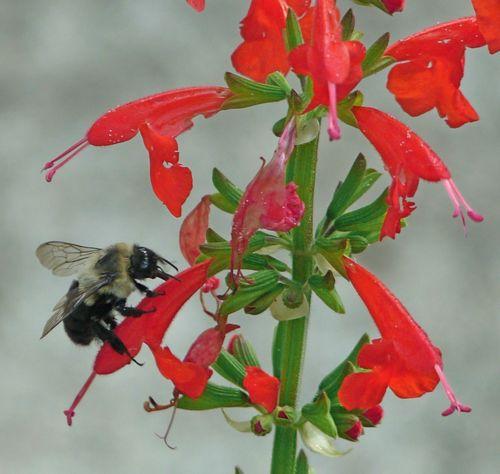 Bee on salvia 2