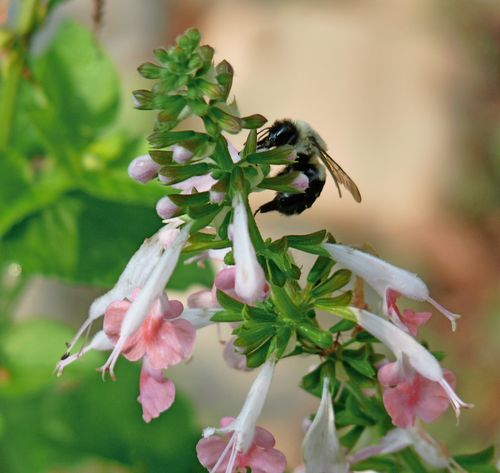 Bee on pink salvia