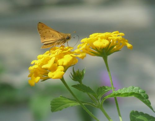 Skipper on lantana