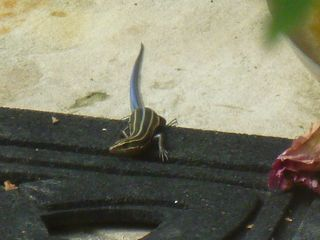 Blue tailed lizard 1
