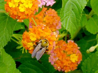 Bee on miss huff lantana