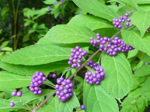 Beauty berries 2