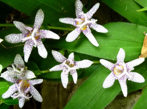 Toad lilies 1