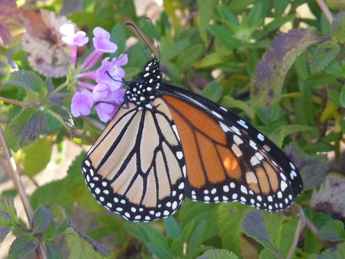 Monarch butterfly 2