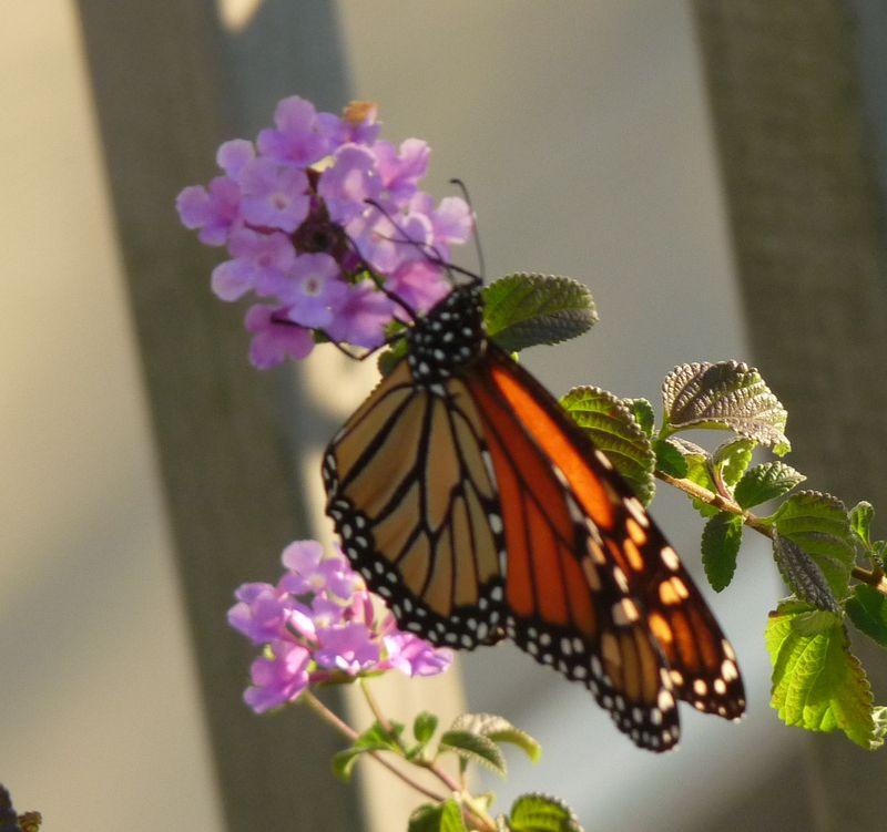 Monarch butterfly 4