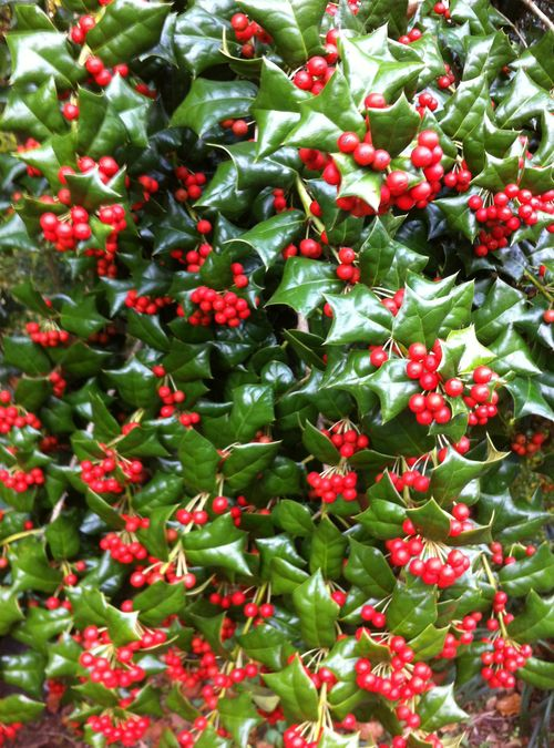 English holly berries