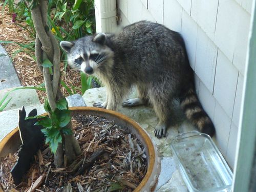 Raccoon on porch