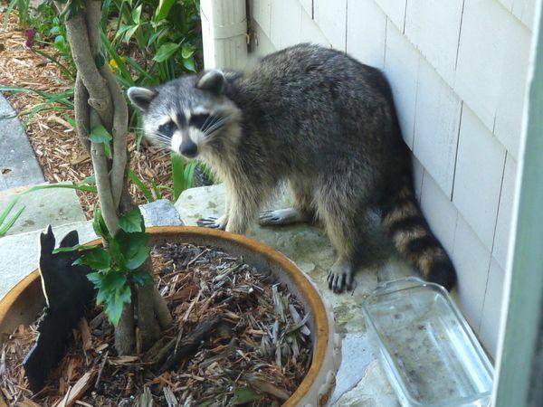 Georgia Backyard Nature: Rascally Raccoon