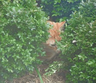 Rusty in boxwoods