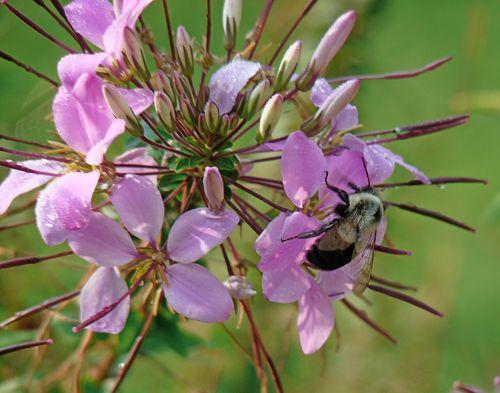 Bee on cleome