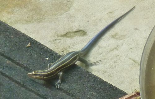 Blue tailed lizard 2