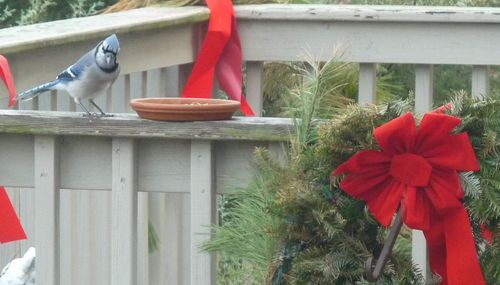 Bluejays christmas3