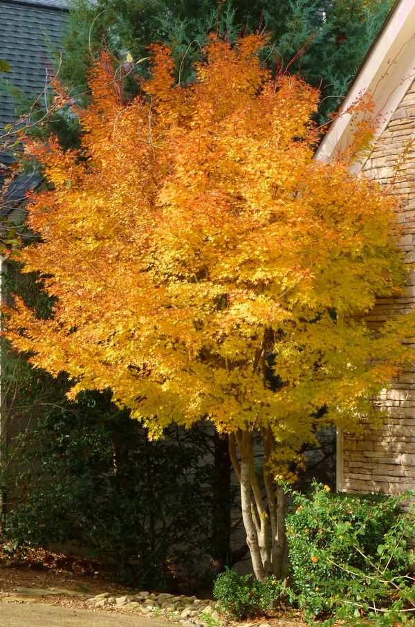 Georgia Backyard Nature Colorful Coral Bark Maple
