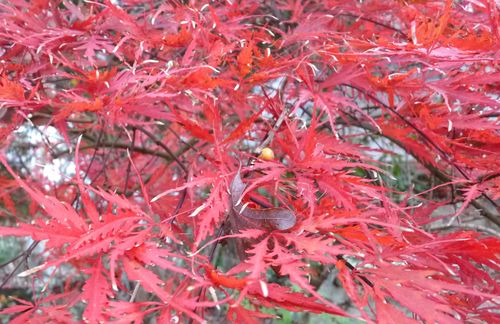 Japanese maple closeup