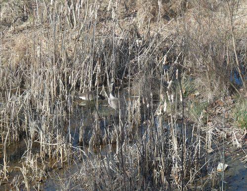 Canada goose camoflaged
