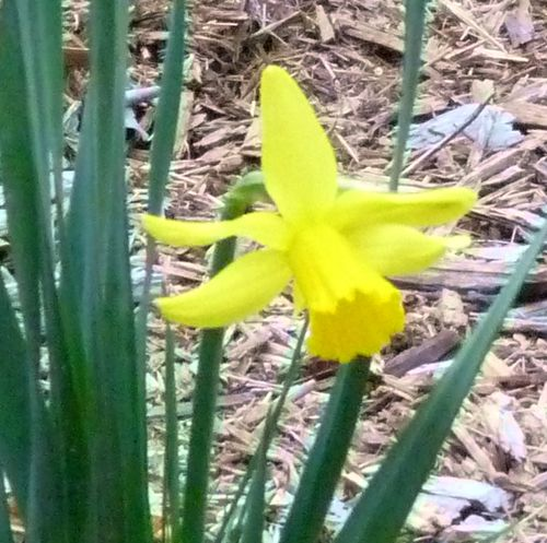 Daffodil in january 2