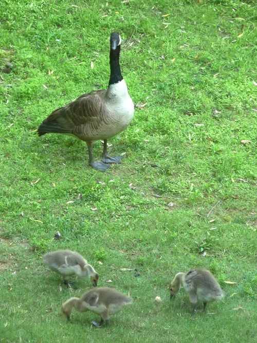 Goslings week 3