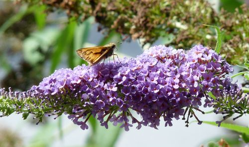 Lavender butterfly bush