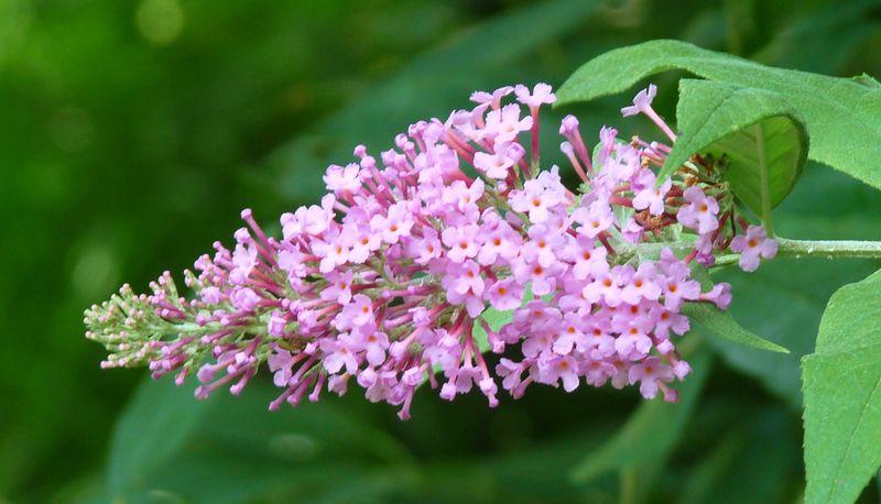 Pink butterfly bush