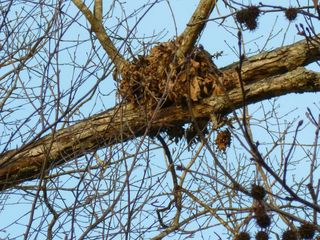 Squirrel nest 2