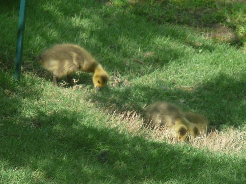 Baby geese 1