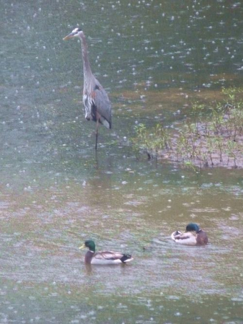 Heron and ducks 2