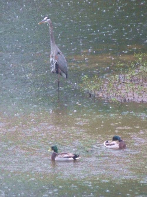 Heron and ducks 2