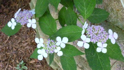 Lacecap hydrangea