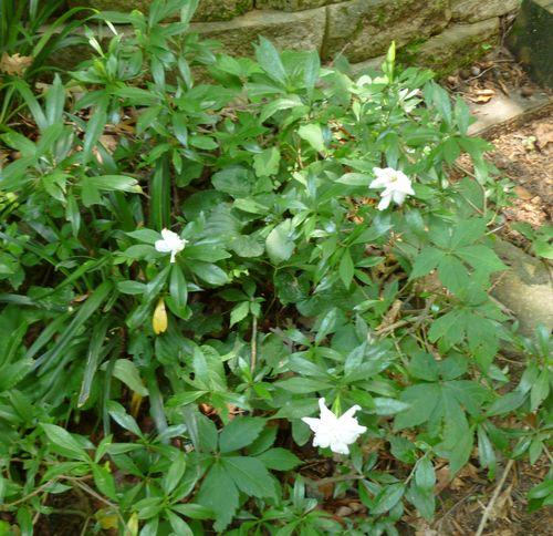 Dwarf gardenia 1